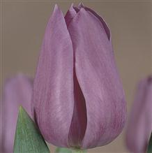 Violet_Beauty  青色的美