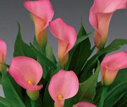 盆栽马蹄莲的种植要点