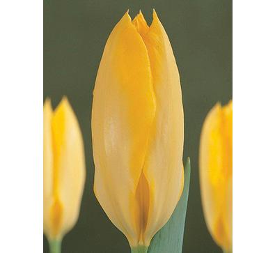 Yellow_Purissima   黄普瑞斯玛