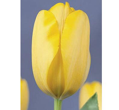 Golden Apeldoorn   金色阿波罗