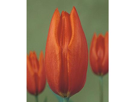 Orange_Cassini   橙色卡西尼