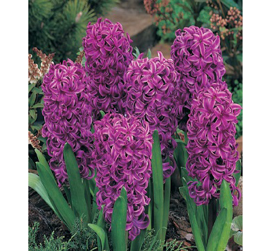 Purple Sensation  紫色感动