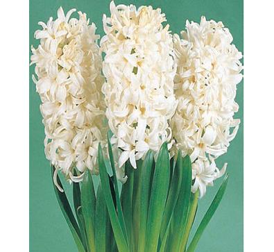 White Pearl  白珍珠