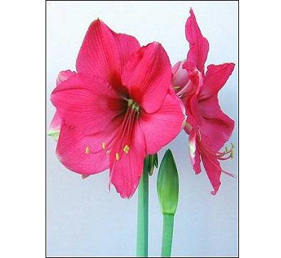 Pink_Surprise 粉色惊奇