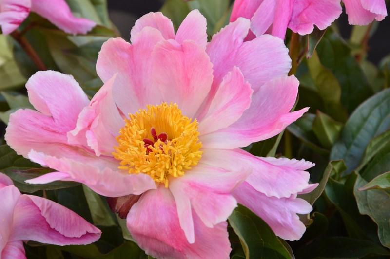 Pink Luau