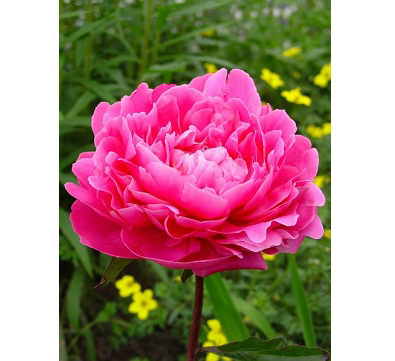 Pink Supreme