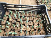 郁金香种苗